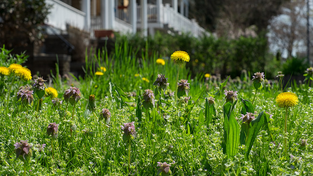 Springtime in a Mt. Pleasant lawn in Washington, D.C.