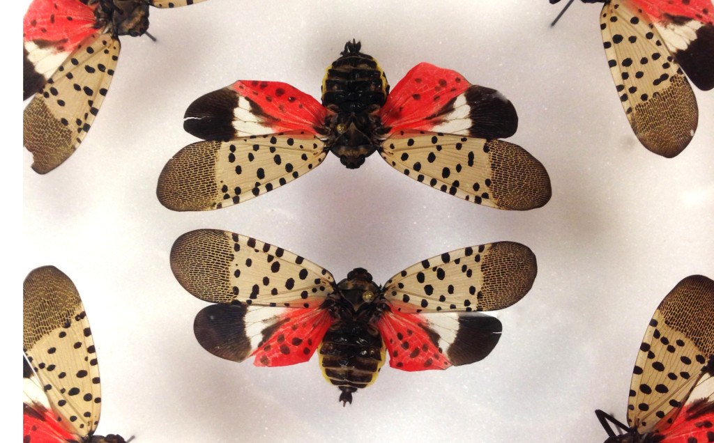 The spotted lanternfly threatens grapes, fruit crops, and ornamental plants in the United States.