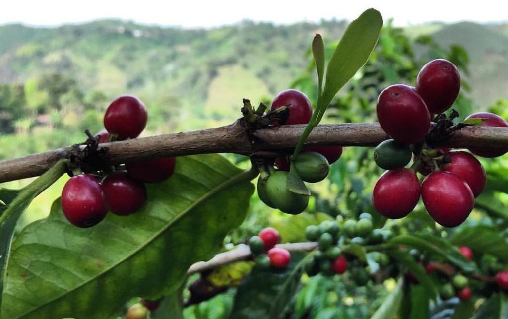 The Tabi varietal of coffee cherry overlooking the mountains on Finca El Ocaso.