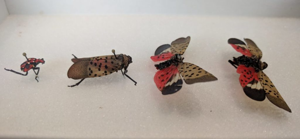 Four stages of the spotted lanternfly