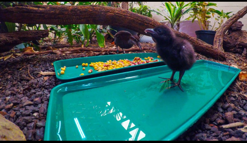 guam_rail_chicks_broll.00_02_34_08.still003