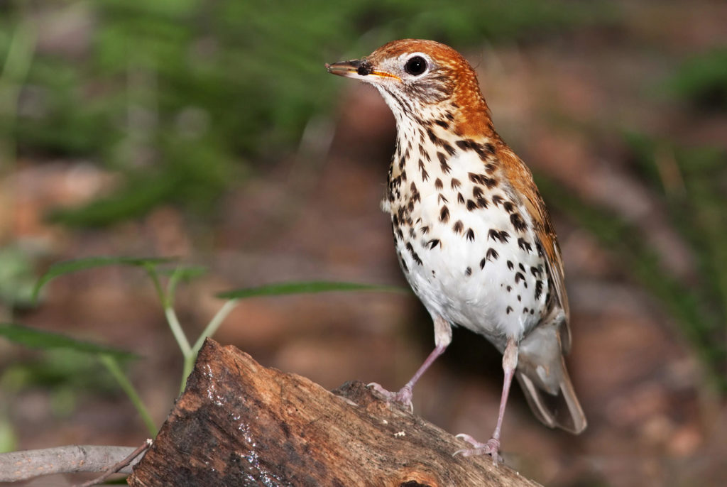 The Wood Thrush is the official bird of Washington, D.C.
