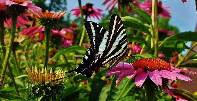 A Zebra Swallowtail Butterfly spotted at the Patuxent Research Refuge in Maryland.
