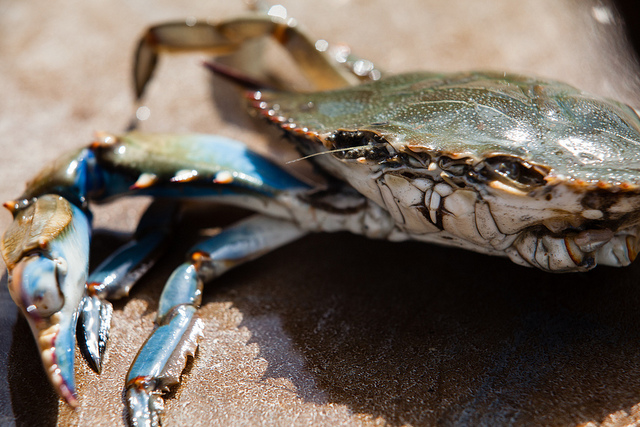 A blue crab rests on the deck of the Virginia Institute of Marine Science.
