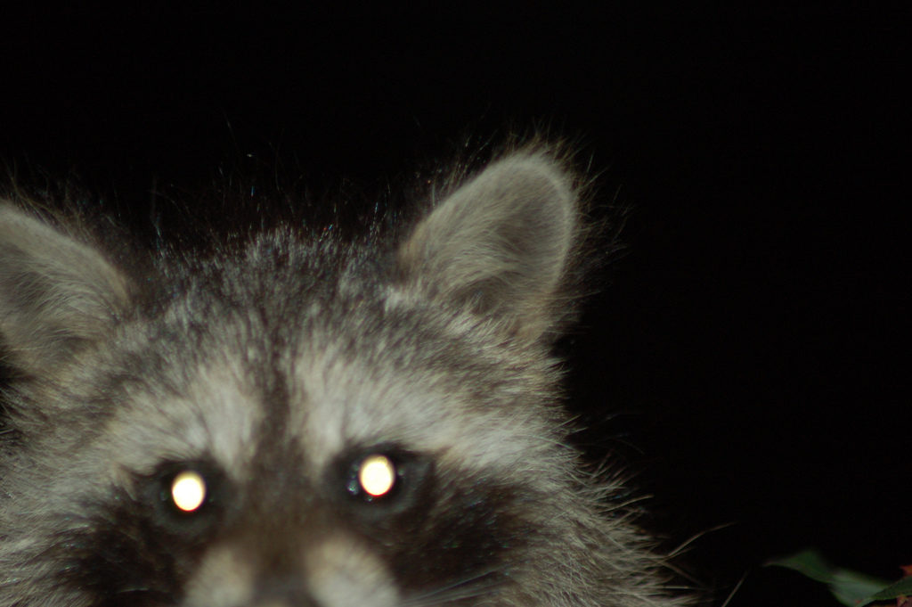 A raccoon spotted in the Langdon neighborhood of Washington, D.C.