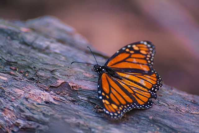 Monarch butterfly populations have declined by 90 percent in the last two decades.
