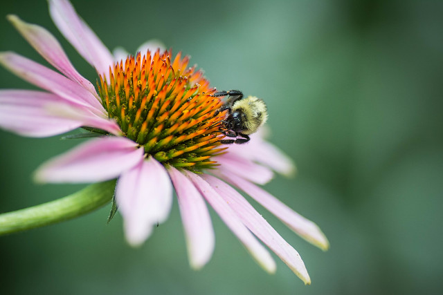 Echinacea, a plant native to the region, attracts pollinators like bees