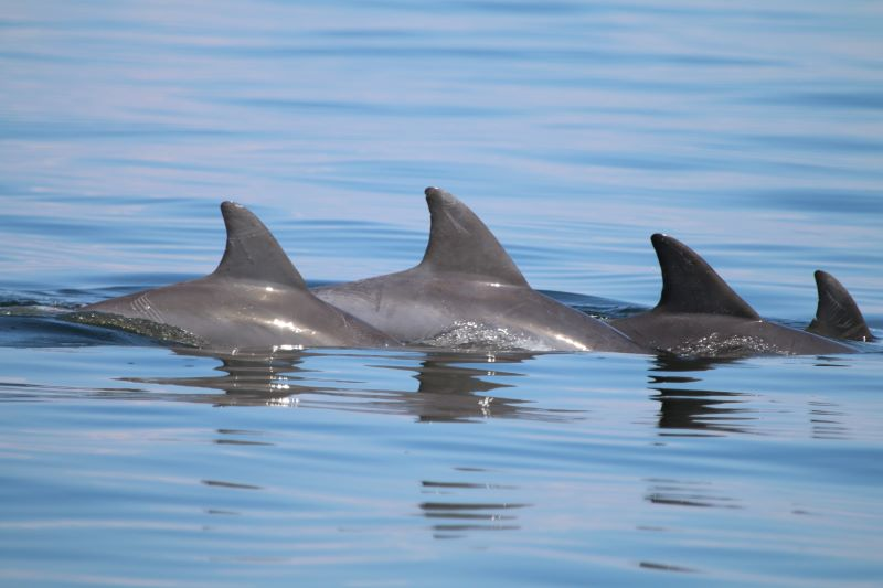 Researchers have counted well over 1,000 dolphins in the Potomac River.