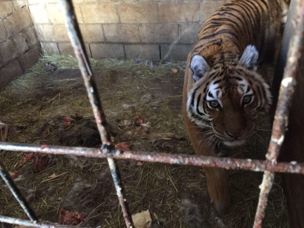 Cheyenne, a tiger who by order of a federal judge will be removed from the TriState Zoo in Cumberland, Maryland.