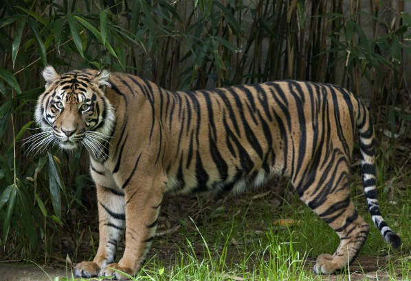 Damai, a female Sumatran tiger who lives at the Smithsonian's National Zoo.