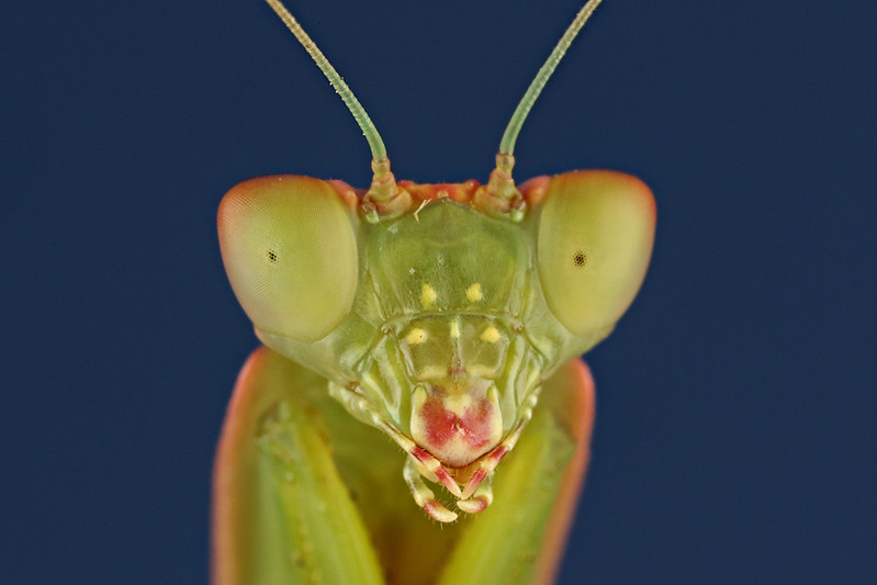 A praying mantis.