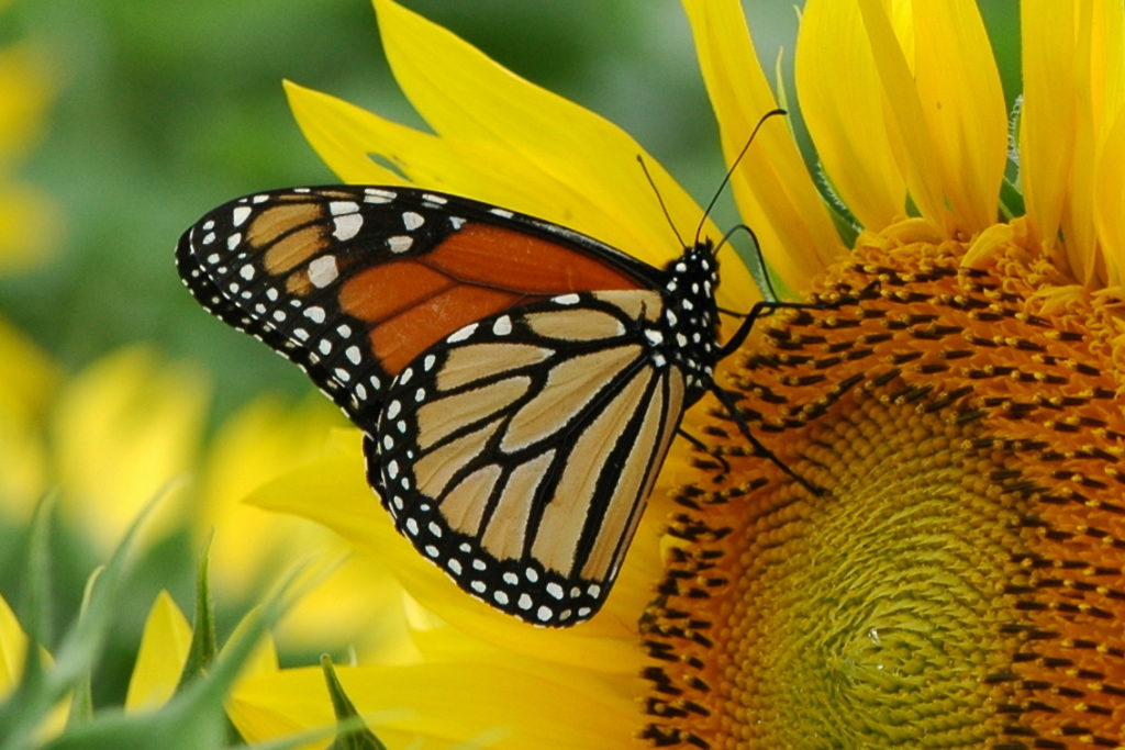Rising temperatures directly impact monarch butterflies and their long journeys from Mexico to our region and back.