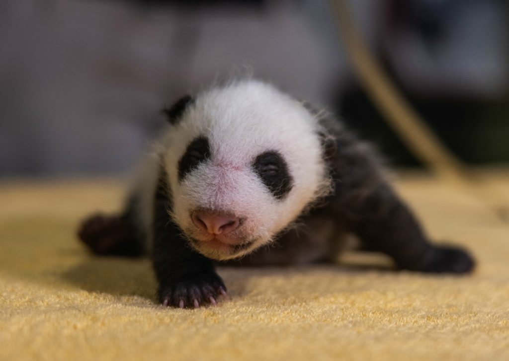 A panda was born at the National Zoo on August 21, 2020., Kojo For Kids welcomes zoo Director Steve Monfort to talk about the new baby and some of the other 2,000 animals cared for by zoo staff.